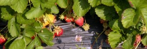 Berry Harvest Farm Strawberries
