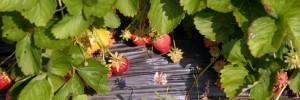 Berry Harvest Farm Strawberries